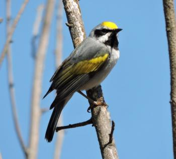 Golden winged Warbler photo DJ McNeil USDA open source. cropjpg