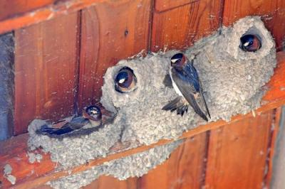 Cliff swallows 15 May 2017b